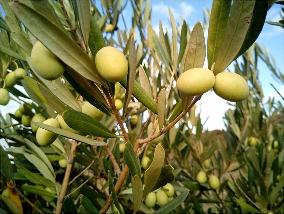 fertilisation des oliviers